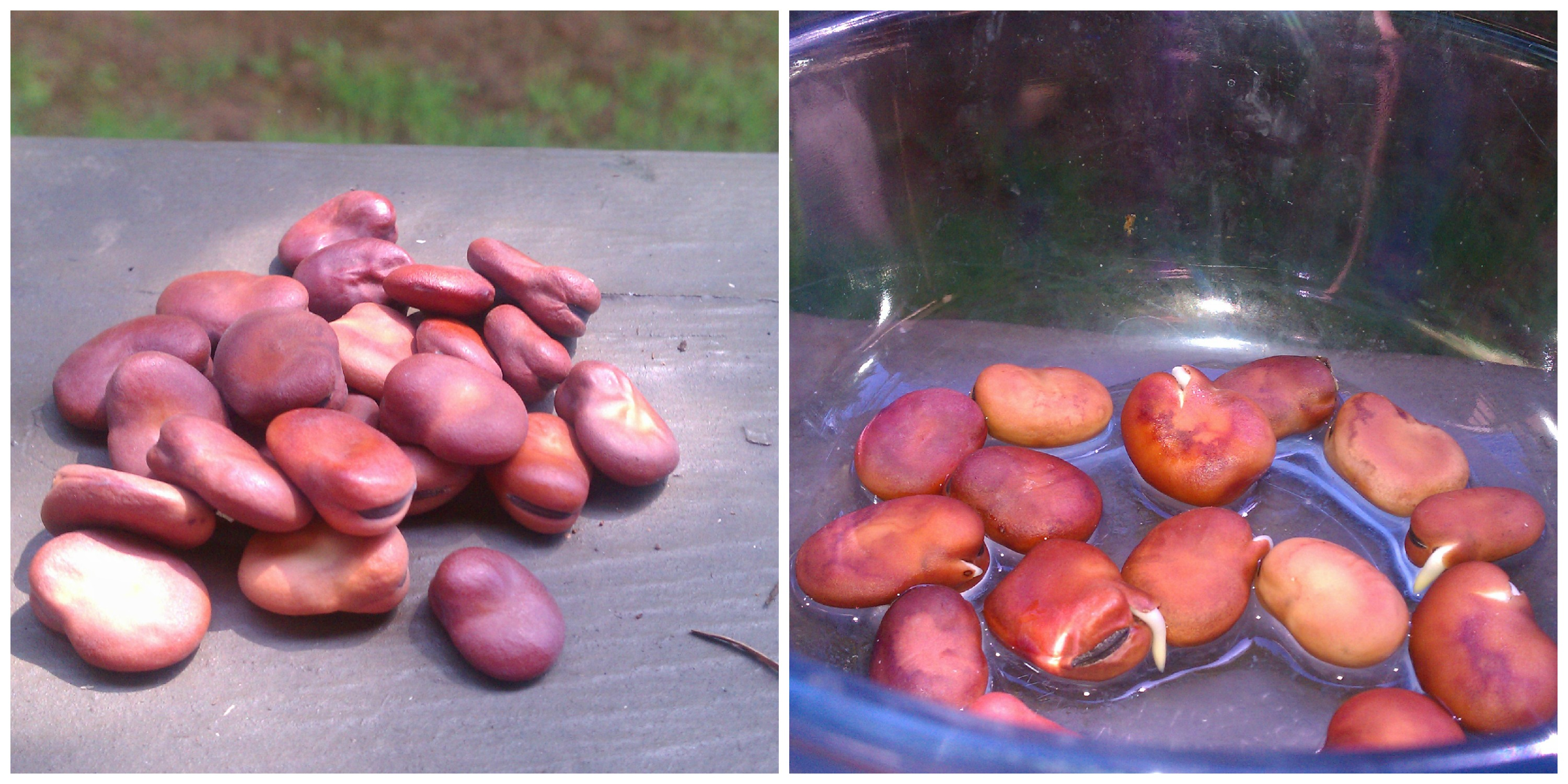 How to Sprout Beans at Home