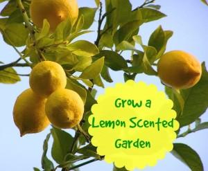 Growing a Lemon Scented Garden
