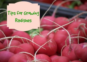 Tips for Growing Radishes
