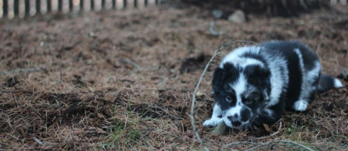 Pad Train Your Puppy in Just 7 Days Using Positive Reinforcement Techniques