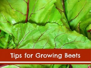 Tips for Growing Beets
